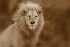 Male white lion. Royalty Free Stock Image