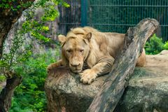 A male white lion is lying on the big rock in the zoo stock photos