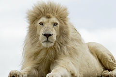 Alert lion Stock Photo