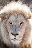 Male white lion. Portrait of a male  white lion relaxing in the shade, South Africa Stock Image