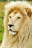 Male white lion profile. Large male white lion profile watching something to its left Royalty Free Stock Photo