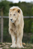 Male White Lion Royalty Free Stock Photos