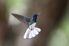 Male White-necked Jacobin in Flight - Panama Stock Photography