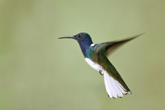 Male White-necked Jacobin in Flight - Panama Royalty Free Stock Photo