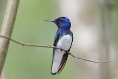 Male White-necked Jacobin - Gamboa, Panama Stock Photo