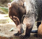 Male White-Nosed Coati Royalty Free Stock Photos