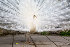 Male white peacock with spread tail-feathers. Portrait of the beautiful male white peacock with spread tail-feathers Stock Image