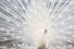 Male white peacock with spread tail-feathers. Portrait of the beautiful male white peacock with spread tail-feathers Stock Photography