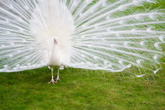 Male white peacocks are spread tail-feathers X Royalty Free Stock Photos