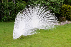 Male white peacocks are spread tail-feathers VII Stock Image