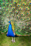 Male white peacocks are spread tail-feathers XII Stock Photo