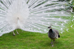 Male white peacocks are spread tail-feathers XIX Royalty Free Stock Images