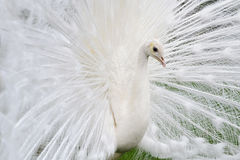 Male white peacocks are spread tail-feathers XVI Royalty Free Stock Photo
