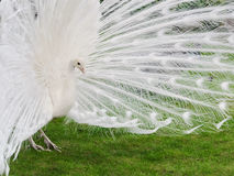 Male white peacocks are spread tail-feathers XVIII Stock Photos