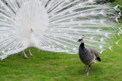 Male white peacocks are spread tail-feathers XX Stock Images