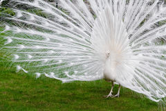 Male white peacocks are spread tail-feathers XXI Royalty Free Stock Photography