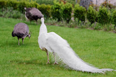 Male white peacocks are spread tail-feathers XXIII Royalty Free Stock Image
