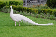 Male white peacocks are spread tail-feathers XXIV Stock Photos