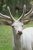 Male white red deer close up portrait. Big Male white red deer close up portrait Stock Image