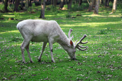 Male white red deer eating the grass in the forest Stock Photo
