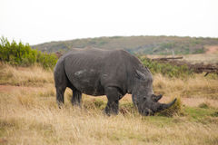 Male White Rhino with long horn grazing. Male White Rhino with long horns grazing at Gondwana game reserve royalty free stock images