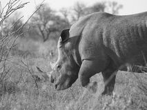 Male white rhino. White rhino in South African park Royalty Free Stock Photo
