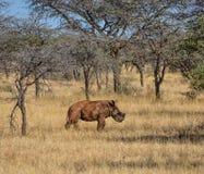 White Rhino Calf. A male White Rhinoceros calf in Southern African savanna stock photo