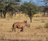 White Rhino Calf. A male White Rhinoceros calf in Southern African savanna royalty free stock images