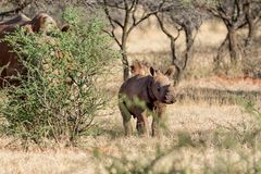 White Rhino Calf. A male White Rhinoceros calf in Southern African savanna royalty free stock photography
