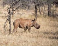 White Rhino Calf. A male White Rhinoceros calf in Southern African savanna stock photos
