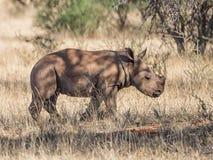 White Rhino Calf. A male White Rhinoceros calf in Southern African savanna royalty free stock photos