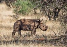 White Rhino Calf. A male White Rhinoceros calf in Southern African savanna stock photography