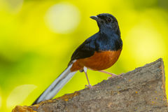 Male White-Rumped Shama. (Copsychus malabaricus) in nature of Thailand Royalty Free Stock Image