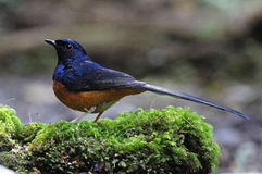Male White-rumped Shama. Beautiful male White-rumped Shama (Copsychus malabaricus), standing on the moss ground cover Stock Photo