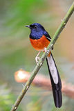 Male White-rumped Shama. Beautiful song bird, male White-rumped Shama (Copsychus malabaricus), standing on a branch, breast profile Stock Photography