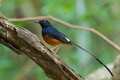 Male White-rumped shama bird in black and orange on a branch. With blurred green background in Thailand, Asia Copsychus malabaricus Stock Photography