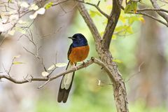Male White-rumped Shama,Copsychus malabaricus. Close view of male White-rumped Shama in forest,Copsychus malabaricus Royalty Free Stock Images