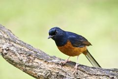 Male White-rumped Shama,Copsychus malabaricus Stock Photos