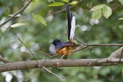 Male White-rumped Shama,Copsychus malabaricus. Close view of male White-rumped Shama in forest,Copsychus malabaricus Royalty Free Stock Photos