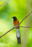 Male White-Rumped Shama(Copsychus malabaricus. ) in the nature Royalty Free Stock Photos