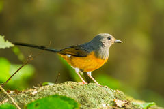 Male White-rumped shama. (Copsychus malabaricus) in nature Stock Photos