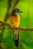Male White-rumped shama. (Copsychus malabaricus) in nature Royalty Free Stock Images