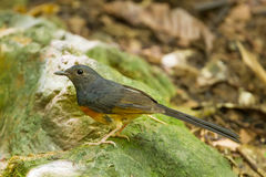 Male White-rumped shama Stock Photos