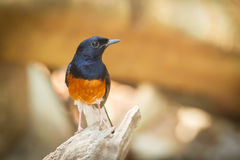 Male White-rumped shama. (Copsychus malabaricus) on the wood Royalty Free Stock Photo