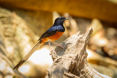 Male White-rumped shama Royalty Free Stock Image