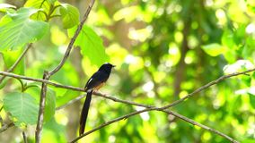 Male White-rumped Shama singing on a tree in the forest
