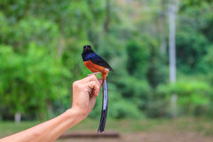 Male White-rumped Shama standing on hand. Male White-rumped Shama (Copsychus malabaricus) standing on hand Stock Photos