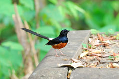 Male white rumped sharma Royalty Free Stock Images