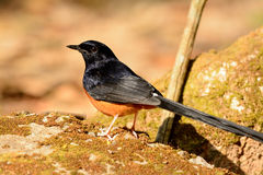 Male White rumped Sharma (Copsychus malabaricus) Royalty Free Stock Photography