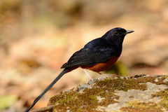 Male White rumped Sharma (Copsychus malabaricus) Stock Photography